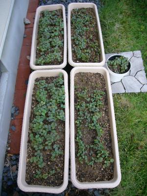 たくさんの芽