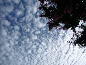 百日紅とうろこ雲